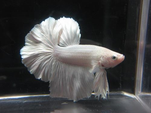 ホワイト♂