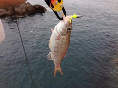 20140517_シュラッグミノーでヒットした魚