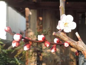 201439紅梅blog01