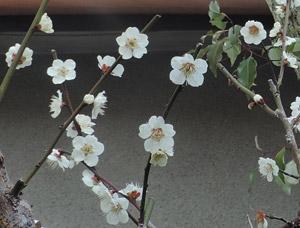 201439白梅blog01