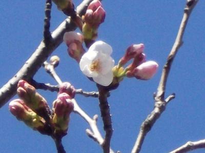 サクラの花 (2)