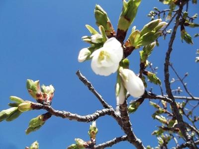 サクラの花 (4)