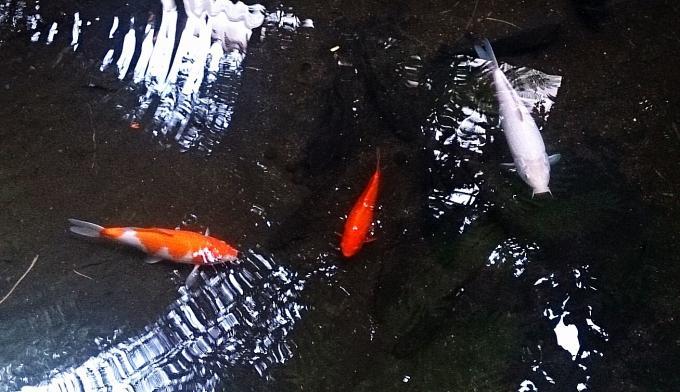 鯉と亀_20140713