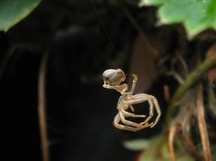 蜘蛛の抜け殻