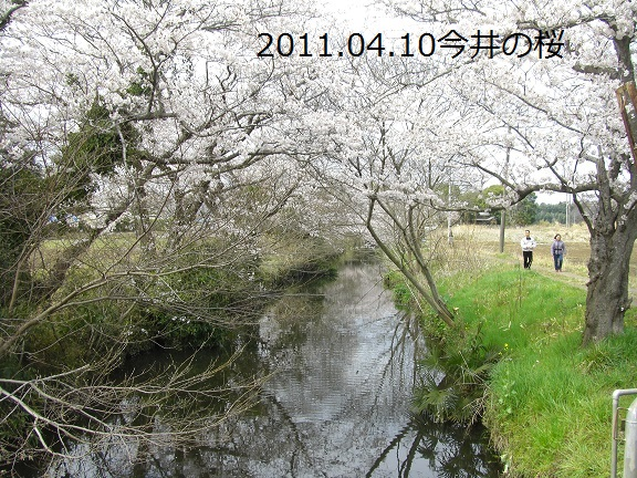 20110410今井の桜