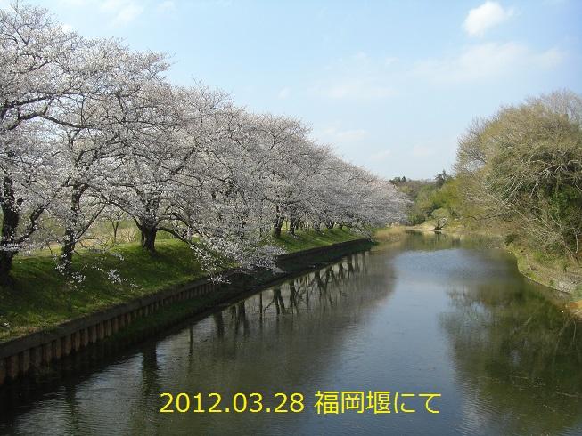 20120328福岡堰の桜3