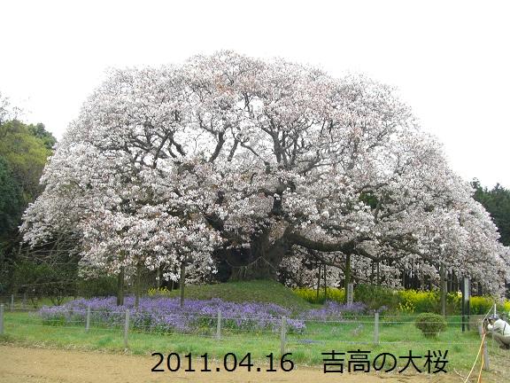 20110416吉高の大桜