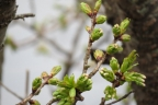 2014_04_06 寒気が入り桜開かず