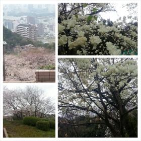 3月31日花見の公園