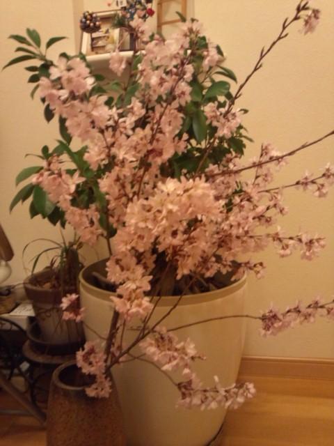 2014.04早咲き桜