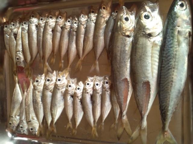 2014.07釣った魚