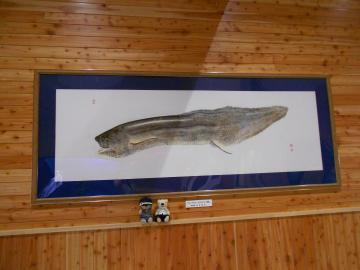 こんなに大きい魚拓、はじめて見た