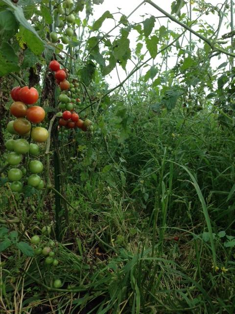 tomato2014_04.jpg