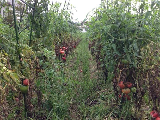 tomato2014_05.jpg