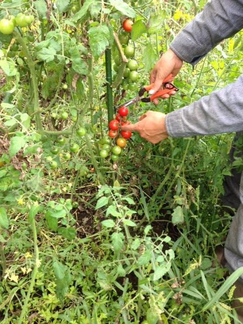 tomato2014_06.jpg
