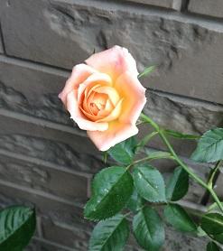 バラ、かわいいです!