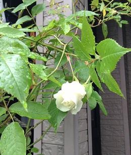 白いバラ、きれいー