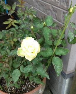 黄色のバラだよー