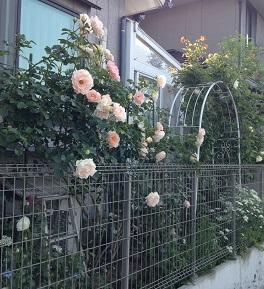 ピンクの薔薇がー💛