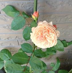 オレンジのバラが咲きました^^
