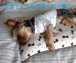 ゴンちゃん、お母さんの枕で寝てますねー^^