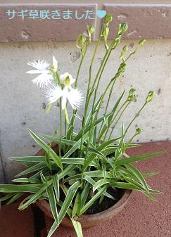 今年も、サギ草が咲きました^^