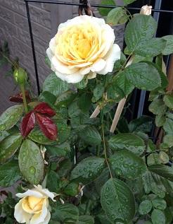 レモン&ジンジャがまた咲きました^^