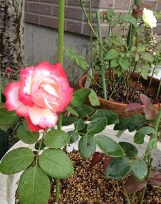 かわいいノスタルジーも咲きました^^