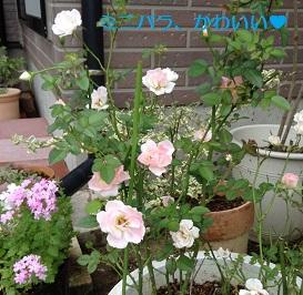 かわいいミニバラ、何回も咲くんだね♡