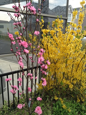 かわいい桃色の花^^