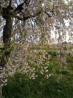 桜がまだきれい^^
