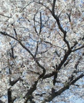 こんな桜に