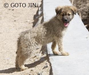 チベット犬01