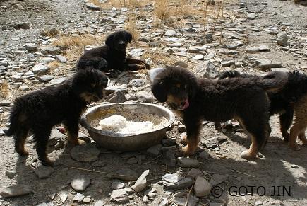 チベット犬07