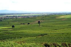 アルザス ガングランジェ 畑からの風景