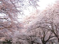 090408小林牧場桜2
