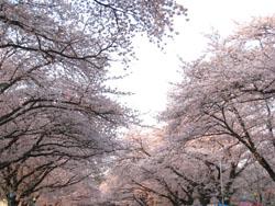 090408小林牧場桜