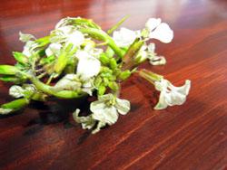 090415ルッコラの花