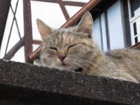 アルザス リボーヴィル 猫