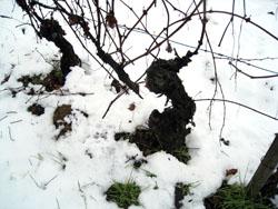 trinchero_雪の畑