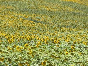 cetona sunflower