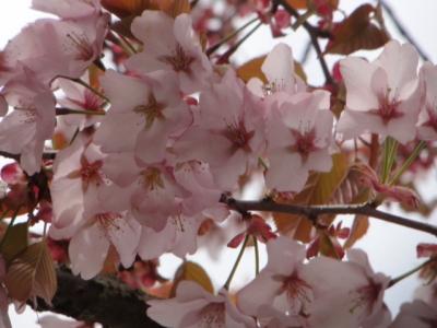 桜・牡蠣祭り 015