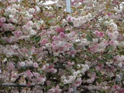 桜・牡蠣祭り 020