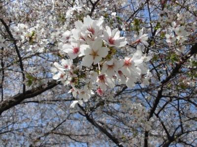 桜2 (2)