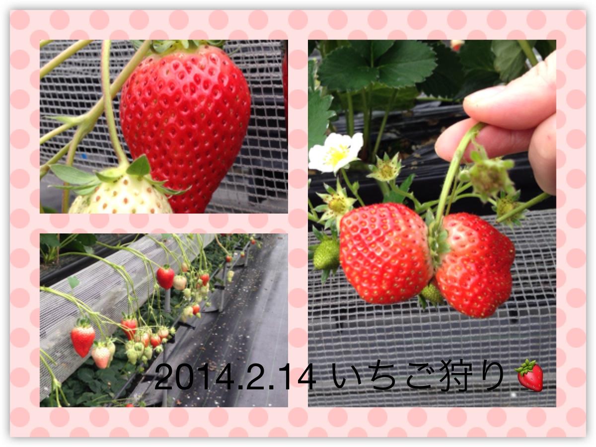 イチゴ狩り2014-1