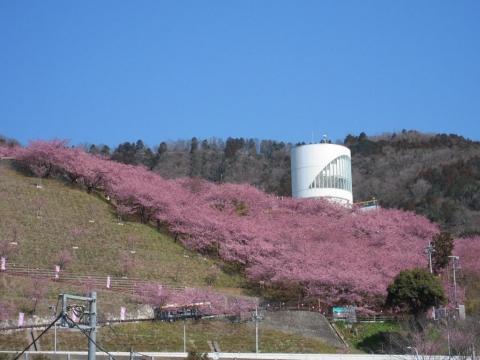 DSCN9919 河津桜