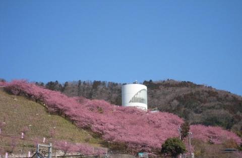 DSCN9917  河津桜