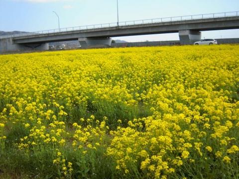 DSCN0020 菜の花