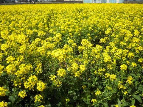 DSCN0015 菜の花