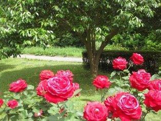 薔薇 047